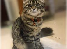 قط أمريكي شيرازي