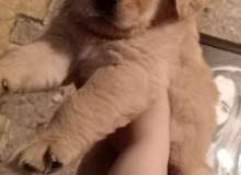 كلب جولدن ريتريڤر