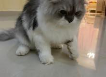 قطة شيرازي انثى