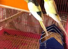 طيور حب رماديات درجة اولى للمراوس بلبل شرط التغريد