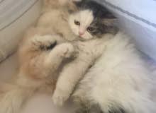 قط طشيرازي عمرهم 3 شهور بياكل اكل البيت