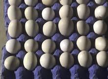 للبيع دجاج فيومي و بيض فيومي