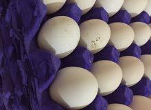 للبيع بيض مطروح للتفقيس