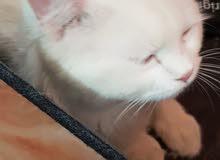 قطه شاميه