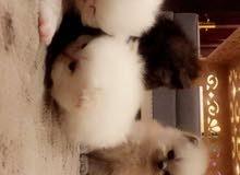 خمس قطط ام و اولده