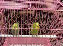 طيور الحب (البادبجي ) للبيع