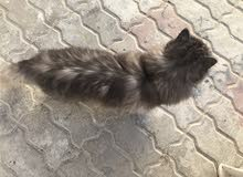 قطه شيرازي إراني أطصل لمعرفت السعر