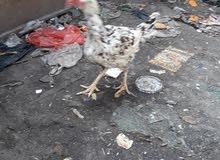 ديك ودجاجتان هندي رس قوي