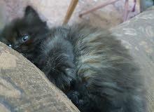 قطة شيرازية هيمالايا