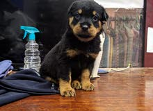 كلب روت وايلر تقليب عالي جدا