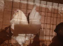 حظيرة دجاج زينة للبيع