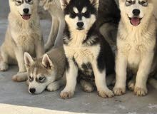 كلاب هاسكي عمر 70 يوم مطعمين