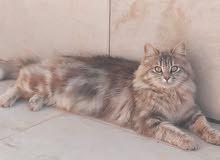 قطة نوع شيرازي مكس لعوبه وهادئه