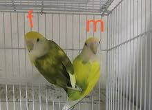 pair of live birds