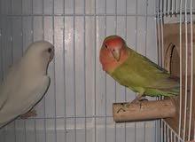 Lovebird Chicks for Sale