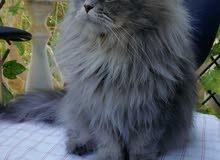 قطة شيرازي مع كيتن عمره اسبوع