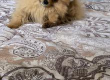 Pomeranian male dog