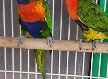 Rainbow Parrot 100% breeding pair