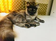 Persian kitten,3-month female,playful with kids and well trained