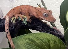 Baby red Dalmatian crested gecko for sale