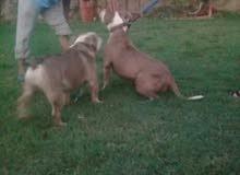 كلاب بيتبول امريكي