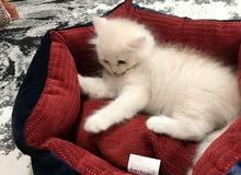 قطة شيرازية اليفه جدا العمر 7 شهور