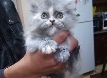 قطه هملايا أنثى العمر شهرين