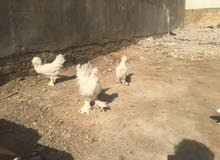 سلطاني ديك +4دجاجات عمر 6 اشهر فووول سعر الكل375