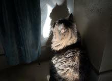 Shirazi cats imported.   قطط شيرازي مستوردة