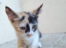 قطه مهجنه الام شيرازيه والاب امريكي  بقيمه 40
