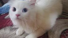قط شيرازي تركي ذكر عين حمرا وعين عسليه