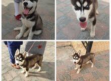 كلب هاسكي سيبيري انثى  شهرين