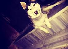 كلب هاسكي العمر 9 أشهر كل عين لون