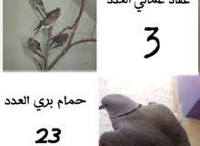 حمام بري +عفاد عماني