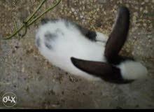 ارانب بلدي اصلي لمحبي الطعم والأكل والتربيه