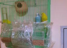 budgie birds for sale