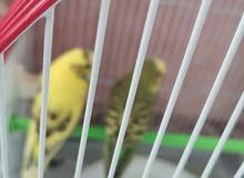طيور الحب( بادجي)
