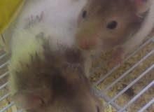 هامسترات سوريه للبيع Syrian hamsters for sale