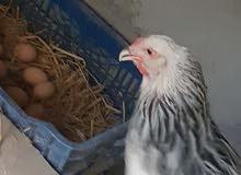 دجاجة براهما بياضة