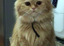 قط شيرازي انثى للبيع على السوم