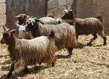أغنام عمانيه 7عشرات حلال طيب ونظيف فرصه للمربين