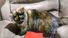 cat sherazy قطه شيرازي
