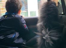 كلب بومرينيان للبيع