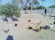 دجاج عربى