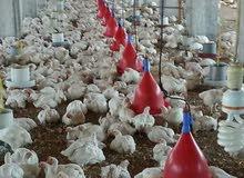 مزرعة فراخ للإيجار مسجله شهر عقاريه بها جميع المرافق والخدمات مياه الشرب وكهرباء