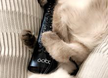 قطه هملايا ليندكس