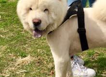للبيع كلب تشاوتشاو جميل جداً