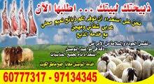اغنام عربي نعيمي للبيع مع التوصيل مجانا