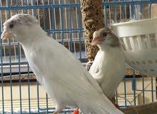 للبيع مجموعة طيور