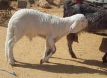 خروف هجين على الخرطومي